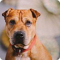 Adopt A Pet :: Brady - Portland, OR