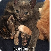 Adopt A Pet :: Grapesicle - Bentonville, AR