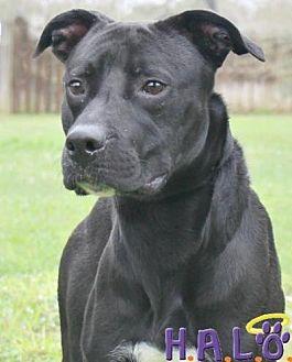 Pit Bull Terrier Dog for adoption in Sebastian, Florida - Otis