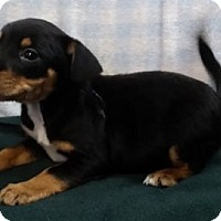 Adopt A Pet :: Oscar - Avon, NY
