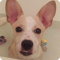 Adopt A Pet :: Rock Star Cooper - Glendale, AZ