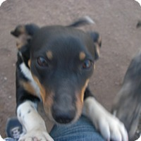 Adopt A Pet :: Layla - Buchanan Dam, TX