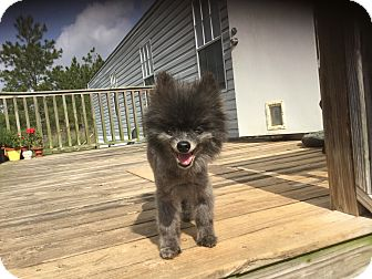 Pomeranian Dog for adoption in Milton, Florida - Pocket