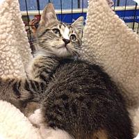 Adopt A Pet :: Shadow - Gainesville, FL