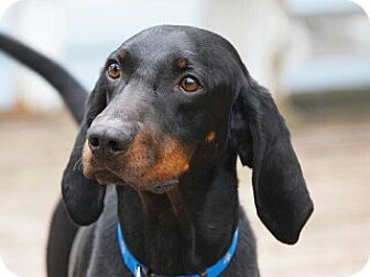 Black and Tan Coonhound Dog for adoption in Mishawaka, Indiana - Alfie