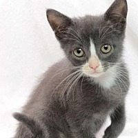 Domestic Shorthair Kitten for adoption in Raleigh, North Carolina - Lucca