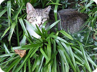 Domestic Shorthair Cat for adoption in Harrison, New York - Winston