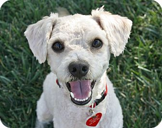 Poodle (Miniature)/Bichon Frise Mix Dog for adoption in Bellflower, California - Radley - I do not shed!