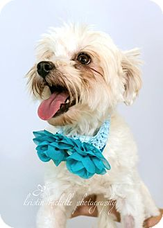 Chinese Crested/Toy Poodle Mix Dog for adoption in St. Louis Park, Minnesota - Zinnia - Adoption Pending 10/22