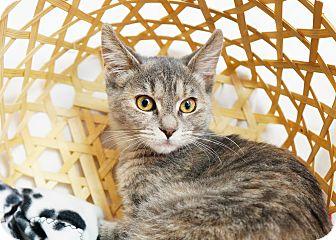Calico Kitten for adoption in Montclair, California - Piper