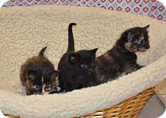 Domestic Shorthair Kitten for adoption in DuQuoin, Illinois - Sven-blk kitten in the middle