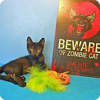 Adopt A Pet :: Sir Isaac Mewton - Glendale, AZ