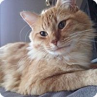 Domestic Mediumhair Cat for adoption in Byron Center, Michigan - Bobo