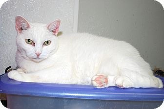 Domestic Shorthair Cat for adoption in Victor, New York - Luna