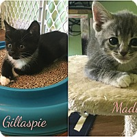Adopt A Pet :: Gillaspie and Madison - Richmond, VA