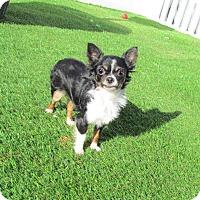 Adopt A Pet :: Gidget TINY 4 lbs. - House Springs, MO