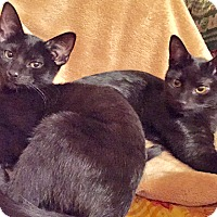 Adopt A Pet :: Ebby and Boo, Bombay Babies - Brooklyn, NY