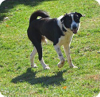 Great Pyrenees Mix Dog for adoption in Frederick, Maryland - Dashing Dasher