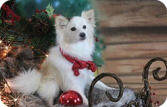 Pomeranian Dog for adoption in Dallas, Texas - Ida Claire