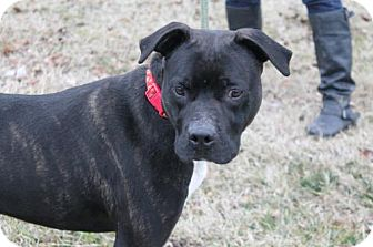 American Pit Bull Terrier/Labrador Retriever Mix Dog for adoption in Chatham, Virginia - Zeus