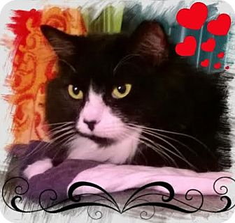 Ragdoll Cat for adoption in Harrisburg, North Carolina - Brandy
