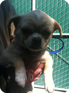 Pug/Chihuahua Mix Puppy for adoption in Poway, California - Candy