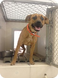 Boxer/Labrador Retriever Mix Dog for adoption in Lancaster, Virginia - Terra