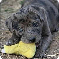 Adopt A Pet :: Danka - Richmond, VA