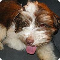 Adopt A Pet :: Cobain - Apex, NC