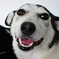 Husky Mix Dog for adoption in Crandall, Georgia - Rosie