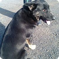 Adopt A Pet :: Brandywine-Foster Needed - Kirkland, WA
