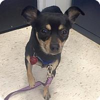 Adopt A Pet :: Dino - Oak Ridge, NJ