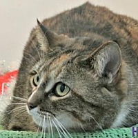 Domestic Shorthair Cat for adoption in Sebastian, Florida - Squirrel