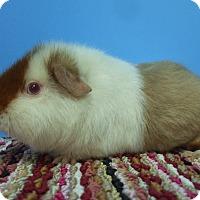 Adopt A Pet :: Thom - Aurora, CO