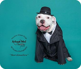 American Bulldog Mix Dog for adoption in Rocky Hill, Connecticut - Marshmallow