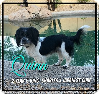 Cavalier King Charles Spaniel/Japanese Chin Mix Dog for adoption in Phoenix, Arizona - Quinn