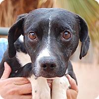 Beagle/Whippet Mix Dog for adoption in Las Vegas, Nevada - Terrance