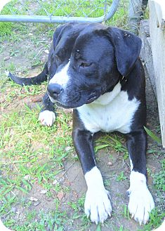 Bulldog/Labrador Retriever Mix Dog for adoption in Norfolk, Virginia - Cain