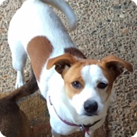 Adopt A Pet :: Pretty Girl in Arkansas - Austin, TX