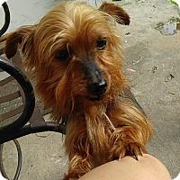 Adopt A Pet :: Mitsy - Houston, TX