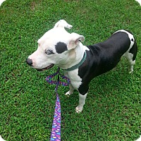 Pit Bull Terrier Mix Dog for adoption in Waxhaw, North Carolina - Chewy