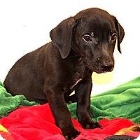 Adopt A Pet :: Pax - Glastonbury, CT