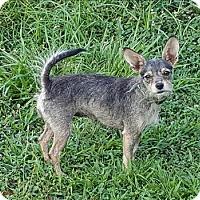Adopt A Pet :: Adele - Neosho, MO
