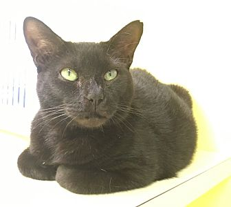 Domestic Shorthair Cat for adoption in Stevensville, Maryland - Emerald