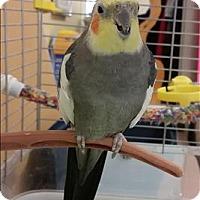 Adopt A Pet :: Joey - Vernon, BC