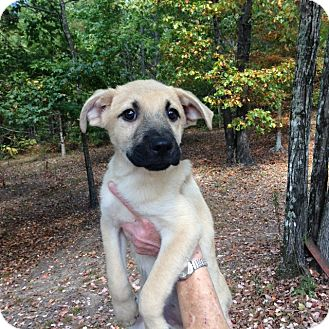Labrador Retriever/Shepherd (Unknown Type) Mix Puppy for adoption in Manchester, New Hampshire - Duke - pending