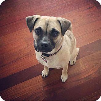 Pug/Beagle Mix Dog for adoption in Elgin, Illinois - Joyce