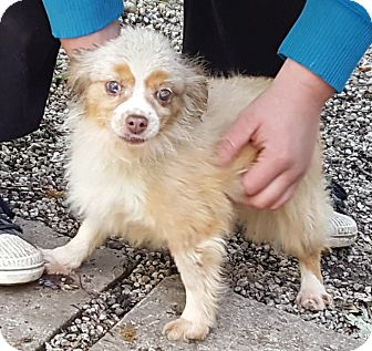 Pomeranian/Chihuahua Mix Dog for adoption in Antioch, Illinois - Pecious - ADOPTION PENDING!!