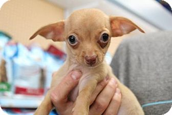 Chihuahua Puppy for adoption in Los Angeles, California - Dana