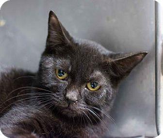 Domestic Shorthair Kitten for adoption in Decatur, Georgia - Louisa